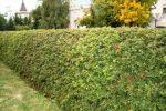 Боярышник изгородь – Живая изгородь из боярышника своими руками